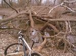 Downed tree at 9 Mile Creek